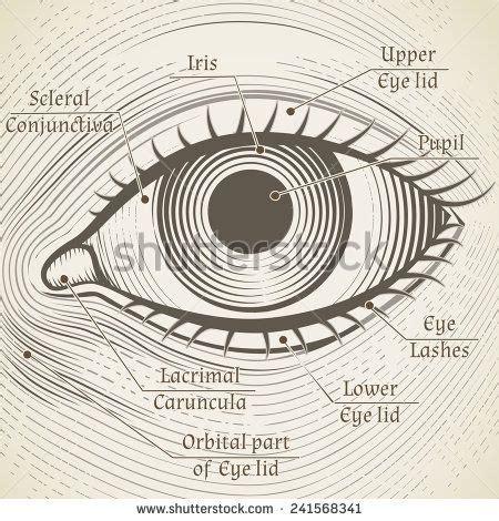 vector human eye etching  captions cornea iris