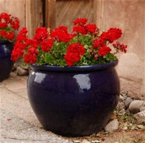 vaso di gerani i gerani coltivazione e parassiti dei re dei balconi