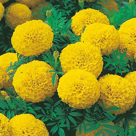 Yellow Marigold marigold sunspot series yellow seeds from mr