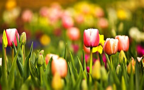 imagenes para fondo de pantalla de tulipanes paisaje con tulipanes hd fondoswiki com
