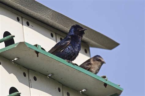 prepare for arrival of purple martins houston chronicle