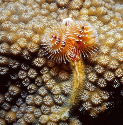 christmas tree worm on star coral under the sea pinterest