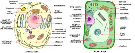 printable animal and plant cell diagram cells biochemth