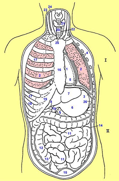 menschlicher körper innere organe menschlicher k 246 rper bild wo chip forum