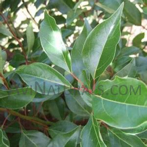 Chagne Floral Fruity 250ml ravensara wholesale suppliers buy ravensara