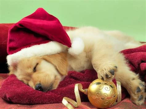 merry puppy merry puppy dreaming