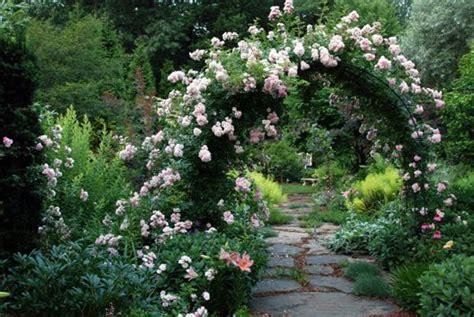gorgeous rose arbor blushing lucy rose    buy