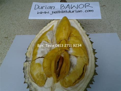 Bibit Durian Bawor Kaki 4 bibit durian bawor archives page 5 of 13 bibit durian