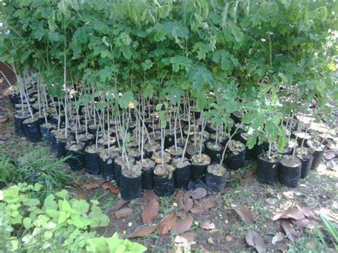Pohon Tabebuya Trembesi Mahoni pohon pelindung dan hias suplier pohon pelindung dan hias