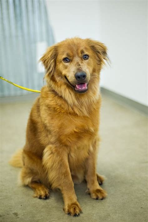 golden retriever kills baby top 25 ideas about chow retriever mix on chow chow adoption and puppys