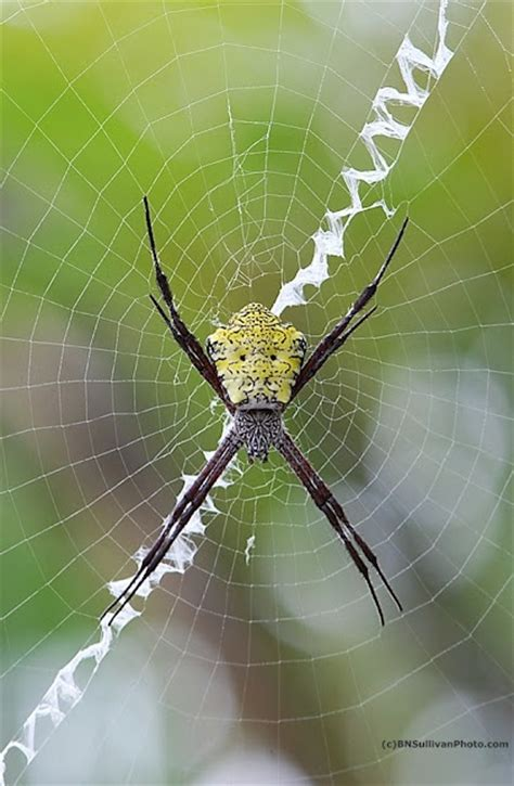 Garden Spider Location Best 25 Garden Spider Ideas On