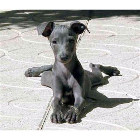 mini greyhound puppies 25 best ideas about miniature italian greyhound on italian greyhound