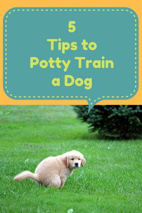 goldendoodle puppy care tips 1000 ideas about potty dogs on