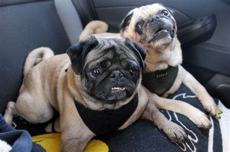 should i get a pug pugpugpug what of harness should i buy for my pug