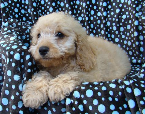 yorkie poo puppies for sale perth for sale spoodle samuel is 11 weeks and ready to go