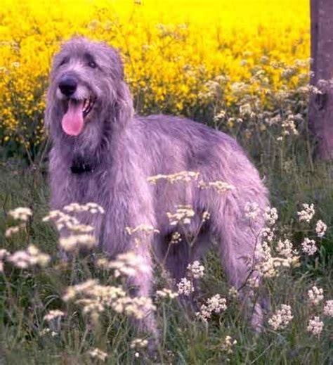 imagenes impresionantes y reales impresionantes imagenes de los perros mas grandes del