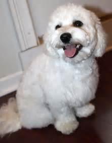 maltipoo haircuts maltipoo dogs cute maltipoo1 com