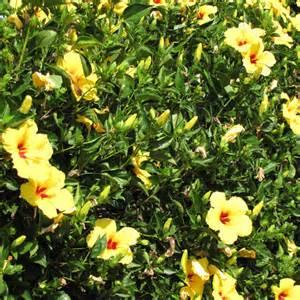 arbuste pour balcon et terrasse liste ooreka