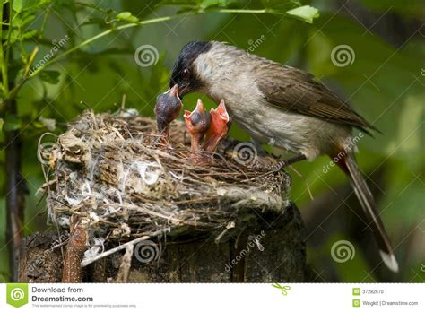 feeding nestling stock photo image 37282670
