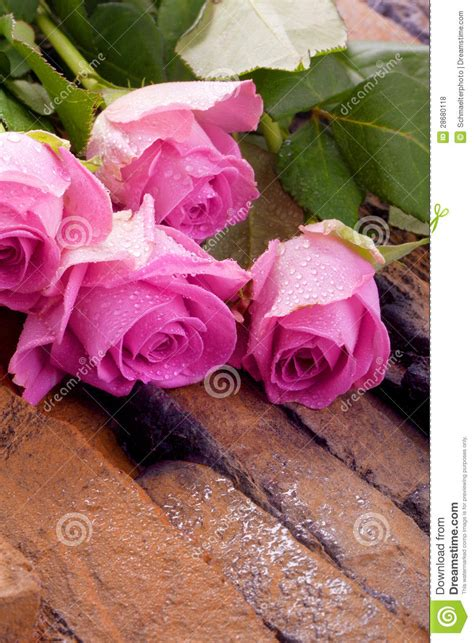pink roses valentines day pink roses for valentines day royalty free stock photos