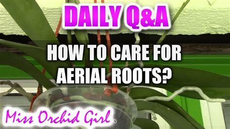 how to care for a q a how to care for aerial roots on phalaenopsis orchids