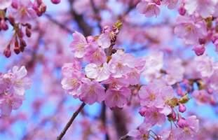 cherry blossoms 2018 japan cherry blossom forecast japan rail pass blog