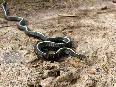 Garden Snake Oregon Spotted Garter Snake Flickr Photo