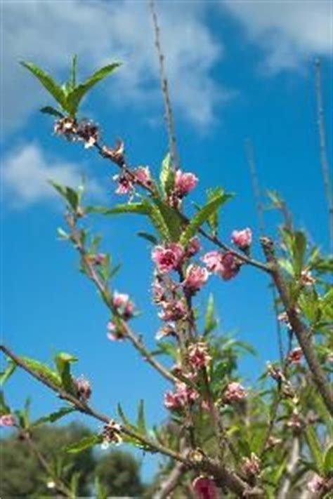 when should you spray fruit trees when to spray apple trees for worms apple tree worms