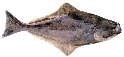 pacific halibut fish washington washington department