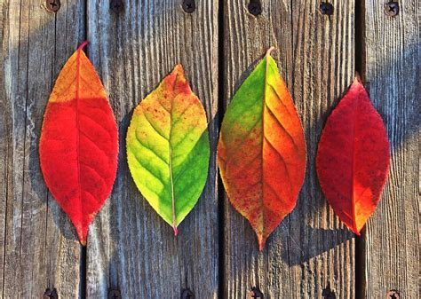 why do leaves change color why do leaves change color learning resources
