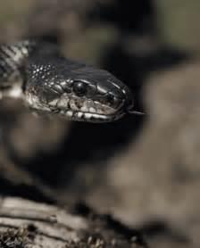 Snake striking gif s google search tags snakes snakes gif