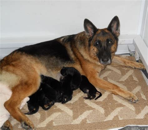 1 day puppies nocturne acres kennels german shepherd puppies
