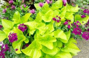 bright green foliage plants trailing plants make great container accents