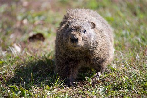 groundhog day images groundhog missouri department of conservation