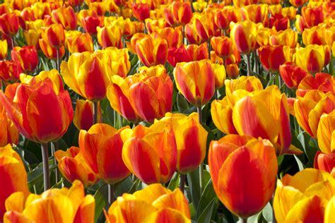 ci di fiori olanda in olanda per la fioritura dei tulipani e il keukenhof