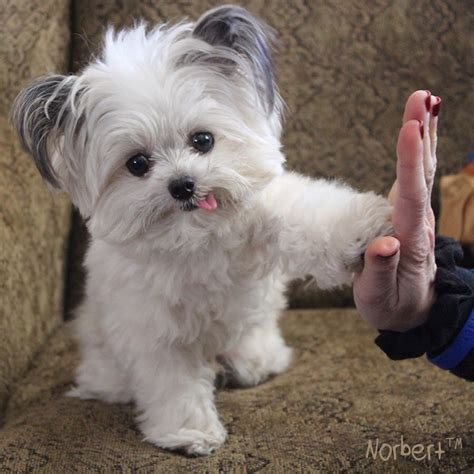 puppy high five high five from norbert 3lb registered therapy randomoverload