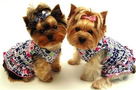 yorkies in clothes terriers and yorkie clothes