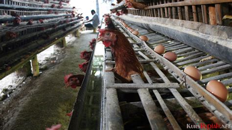 Bibit Ayam Petelur Yang Siap Telur harga mulai rp4 500 ekor ayam petelur jadi peluang usaha