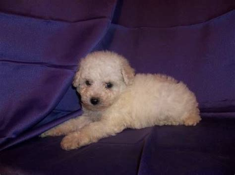 Does A Bichon Frise Shed by Bichon Frise Puppies Lovable Friends