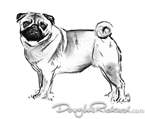 drawings of pugs pug drawing