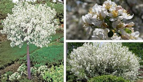 lollipop crabapple mary mary quite contrary pinterest trees white flowers and dark