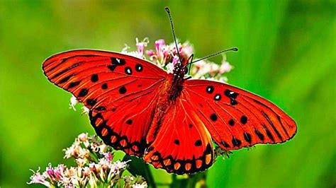imagenes de mariposas que brillen mariposas reales www pixshark com images galleries