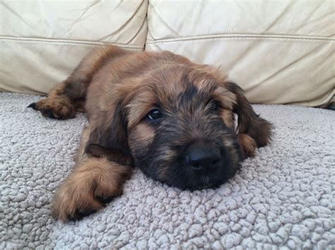 puppies on fawn briard puppies stoke on trent staffordshire pets4homes