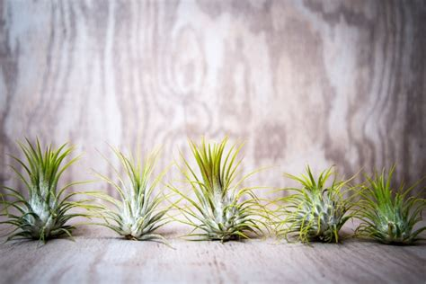 Pflanzen Garten Ohne Pflege by Wurzellose Luftpflanzen In Terrarien Tillandsien Richtig