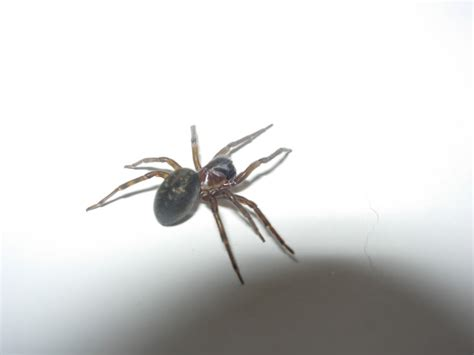 common house spiders common house spider or venomous lol reptile forums