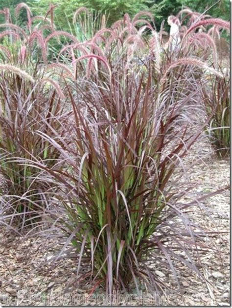 Types Of Decorative Grasses by Discover And Save Creative Ideas