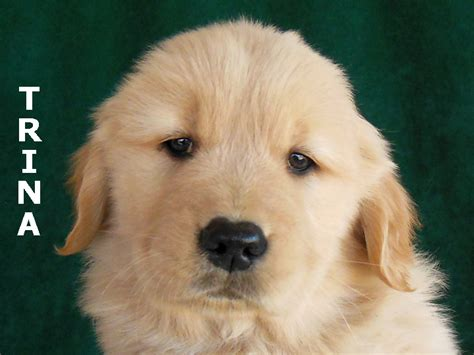 our sanity retreat golden retrievers our sanity retreat golden retrievers puppy photo gallery 2013