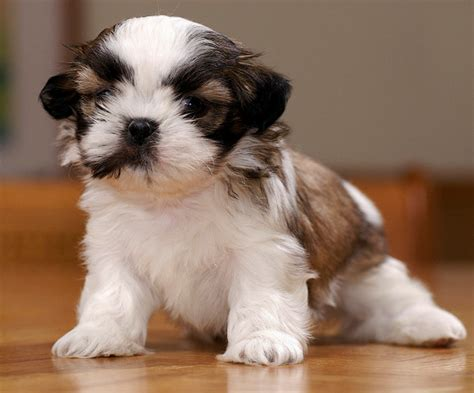 lhasa apso cross shih tzu puppies for sale lhasa apso cross shih tzu 114 the wallpaper best jarmn sefared litle pups