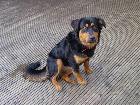 border collie x rottweiler millie 9 month collie cross rotweiller for adoption