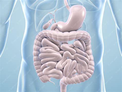 innere organe des menschen schaubild organe des menschen schaubild innere organe menschen